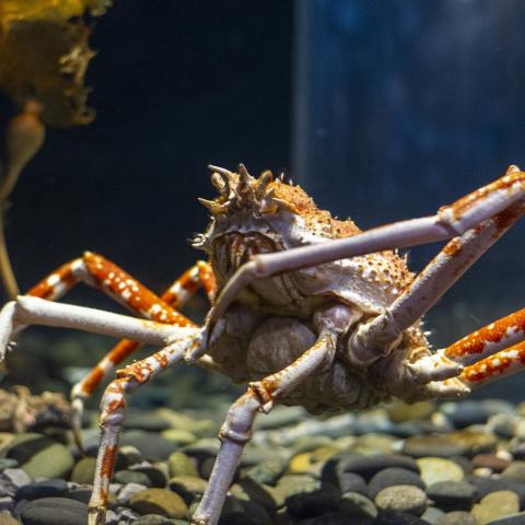 •	A giant Japanese Spider Crab showcases its tremendous size in the Boneless Beauties gallery. This species will be among those featured during May as part of the Aquarium's Global Passport Program focus on Asian animals.